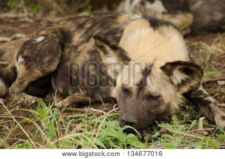 A tired wild dog sleeping with a full stomach