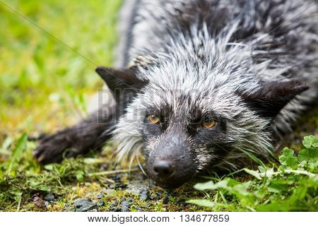 Silver Variety Of The Red Fox
