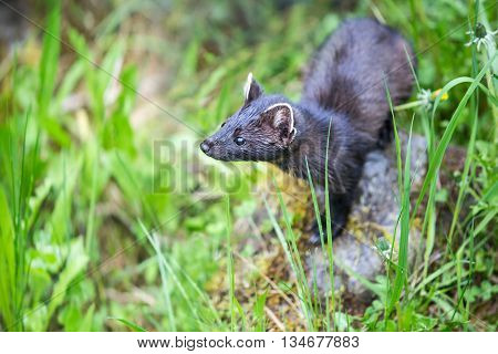 Stoat Searching For Something In The Wild