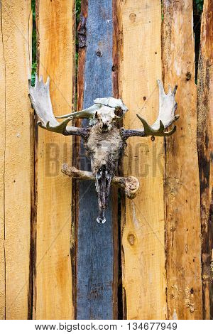 Moose skulls and antlers on a wood plank fence