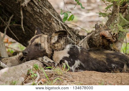 A grumpy wild dog pouts under a tree
