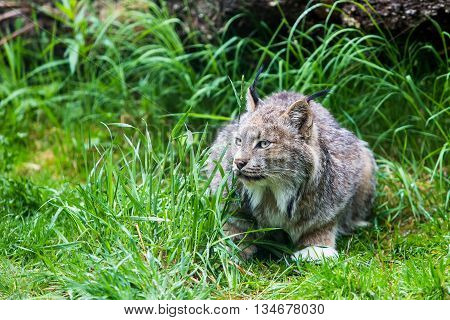 Canadian Lynx In Low Grass