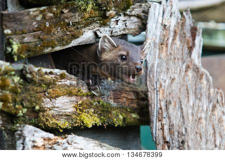 Hungry American Marten On Fence
