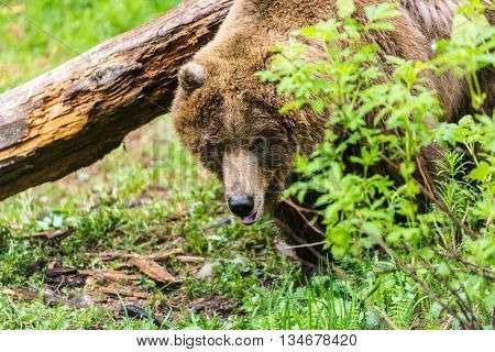 Female Grizzly Bear In Forest