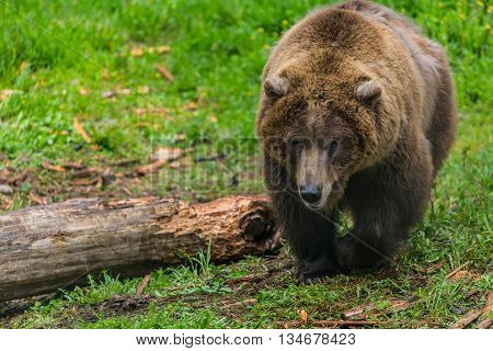 Female Grizzly Bear Near Chewed Up Log