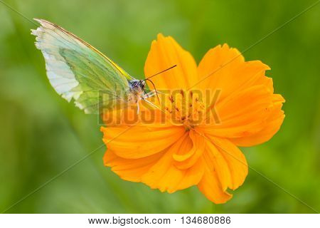 Butterfly catch on yellow Cosmos flowers , nature