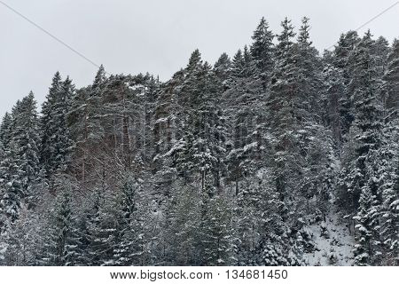 Evergreen and other trees standing along hillside with sprinkling of snow on their leaves under cold winter sky