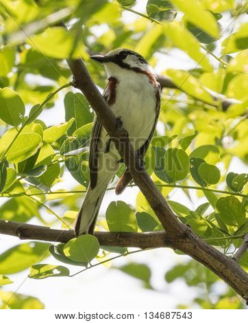 Chestnut-sided Warbler (Setophaga pensylvanica) perched on a branch