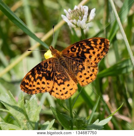 Meadow Fritillary (Boloria bellona) sitting on a buttercup flower