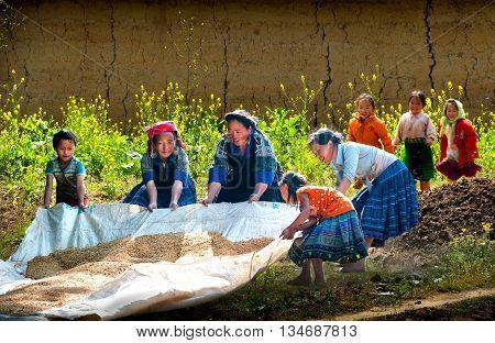 YEN BAI, VIETNAM, September 12, 2015 Hmong group, highland Yen Bai, teamed, dried rice