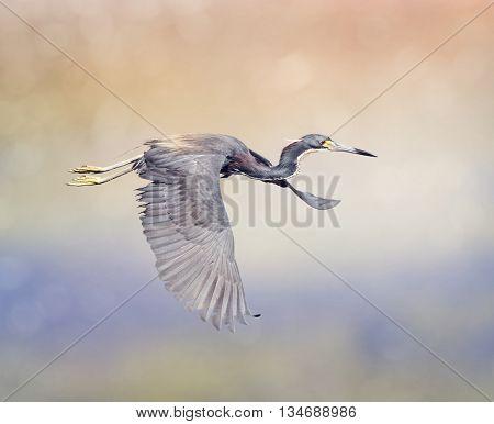 Tricolored Heron in Flight In Florida Wetlands
