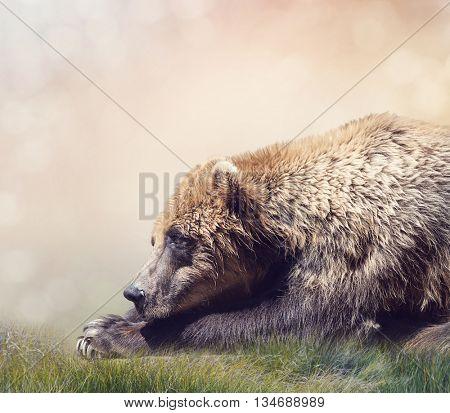 Brown Bear Resting,close up shot