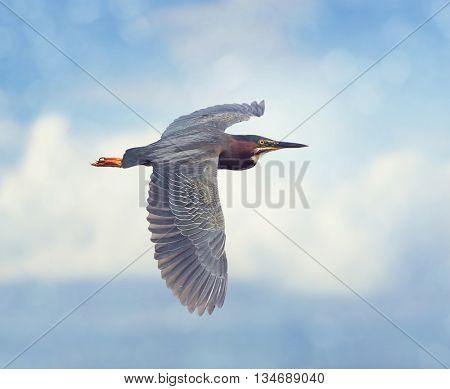 Green Heron in Flight against a blue sky