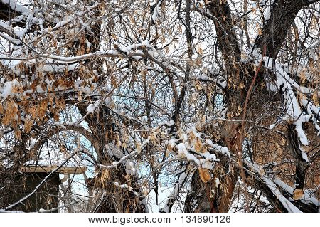 Winter snow on trees in nature outdoors.