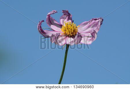 Purple Cosmos flower blossom against blue sky