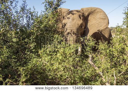 african bush elephant in Kruger Park, South Africa