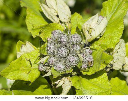 Buds on greater burdock arctium lappa macro selective focus