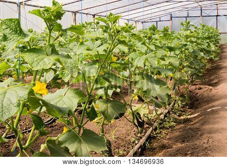 cultivation of cucumbers in greenhouse under the film