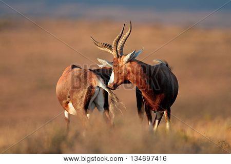Blesbok antelopes (Damaliscus pygargus) standing in grassland, South Africa