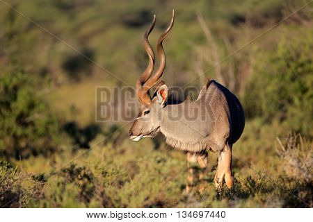 Big male kudu antelope (Tragelaphus strepsiceros) in natural habitat, South Africa