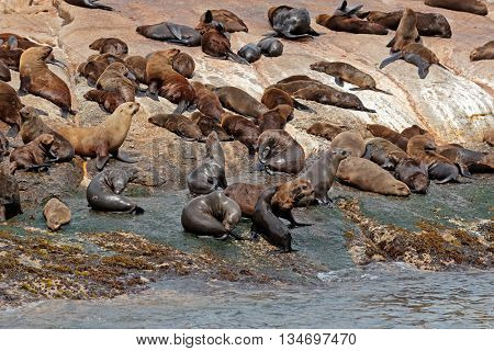 Brown (Cape) fur seal (Arctocephalus pusillus) colony on coastal rocks, South Africa