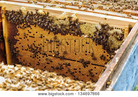 Bee brood in the hive apiary beekeeping