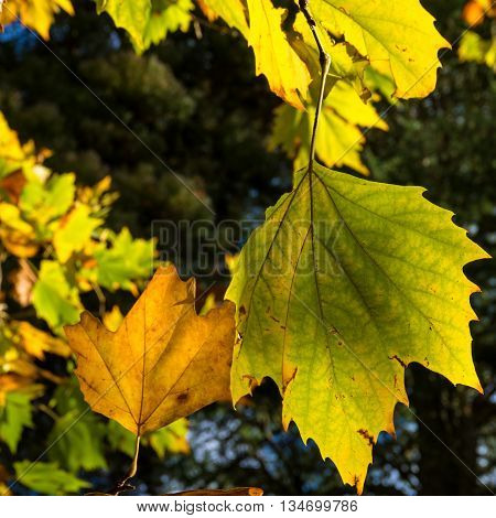 Autumn yellow canadian maple leaves background. Bright fall foliage wallpaper. Selective focus and shallow DOF