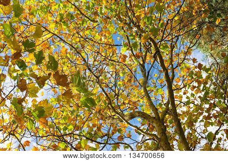 Autumn leaves of maple tree against sunny blue sky. Yellow foliage of fall season background wallpaper. Looking up the tree canopy