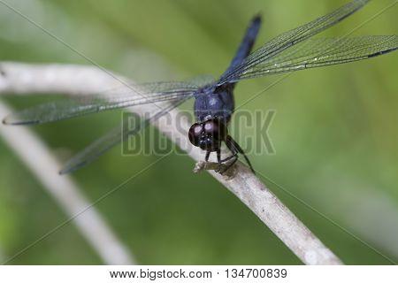 Alabama Blue Dasher Dragonfly pachydiplax longipennis on Twig