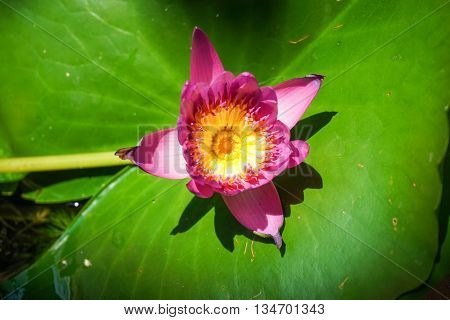 Bloom pink lotus with leaf in the pottery bowl