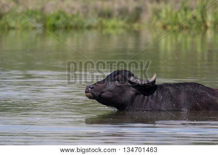 Asian buffalo (Bubalus arnee) in the water