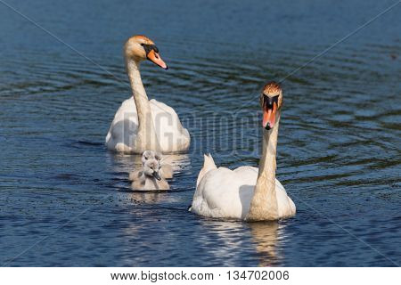 Mute swan family swimming in blue water
