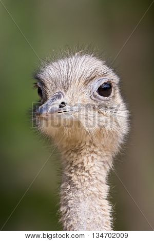 Front view of an ostrich with natural background