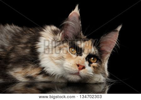 Resting Maine Coon Cat Lying with Cute Looks Isolated on Black Background
