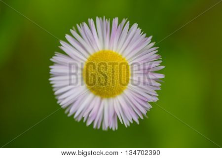 Details of bloom of bellis perennis with green background