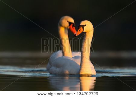 Two mute swans in love in evening light