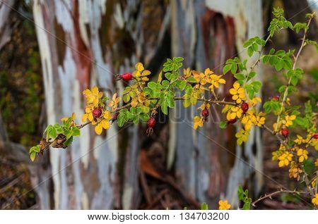 Rosehip plant against eucalyptus bark on the background. Autumn nature background. Selective focus