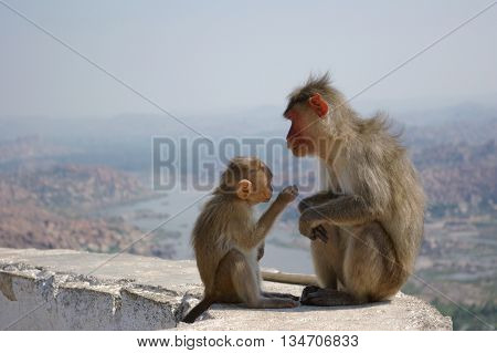Red face monkey Rhesus macaque Macaca mulatta