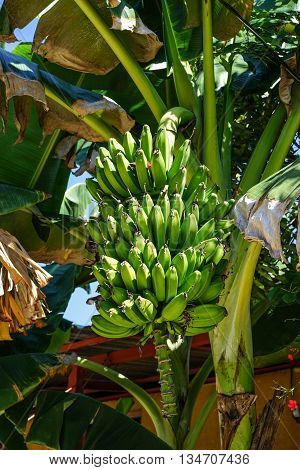 stem of bananas growing on the banana palm tree in the tropical nature