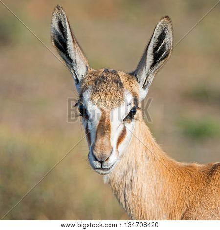 A closeup portrait of a Springbok ewe in Southern Africa