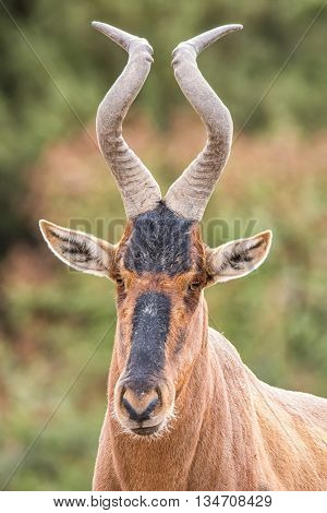 A closeup facial portrait of a Red Hartebeest antelope in Southern Africa