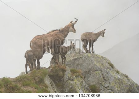 One adult and three young chamois in fog on rock in Tatra mountains