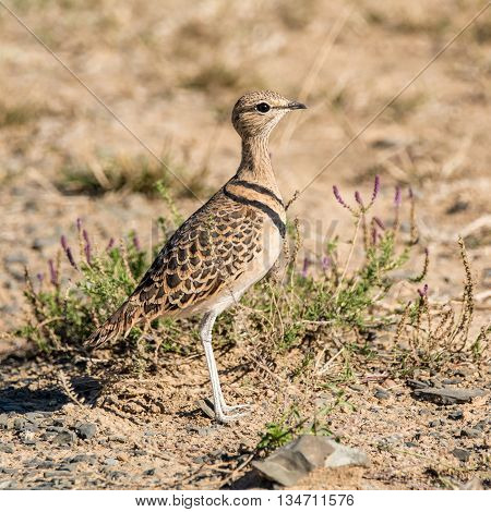 This exquisite little bird is a common resident and local nomad of semi-arid and desert plains usually in stony areas