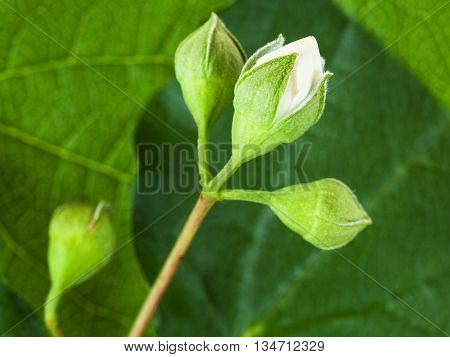 White Bud Of Honeysuckle Plant Close Up
