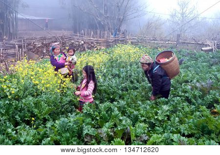 SAPA. VIETNAM, February 14, 2016 the group of women, ethnic Hmong, highland Sapa. Gardening vegetables, in the early morning