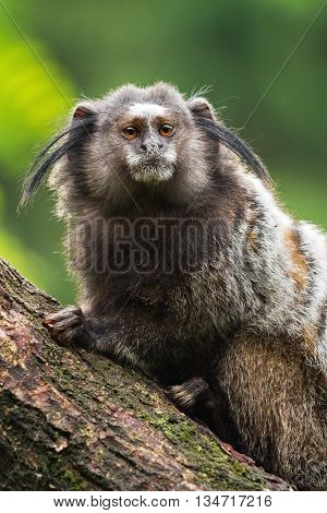 Portrait of an adult Black-tuffed marmoset, The Netherlands