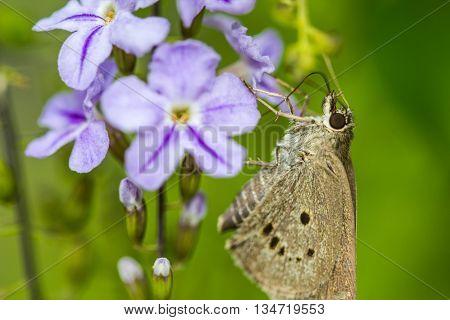 a borbo cinnara (Hesperiidae) Butterfly 0n flower