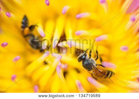 little cute bee on pollen lotus flower