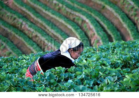 Chiang Mai Thailand - Feb 17 2015 : Old woman working in strawberry field at baan nolae Royal Agricultural Station Angkhang Chiang Mai Thailand