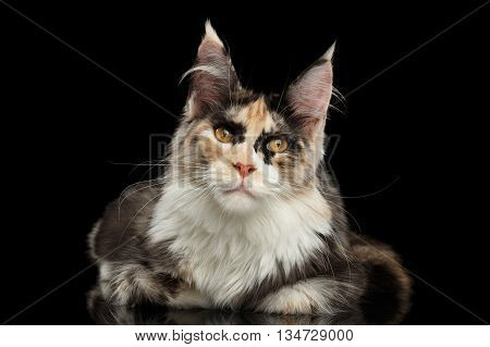 Maine Coon Cat Lying and Curious Looking in Camera Isolated on Black Background, Front view